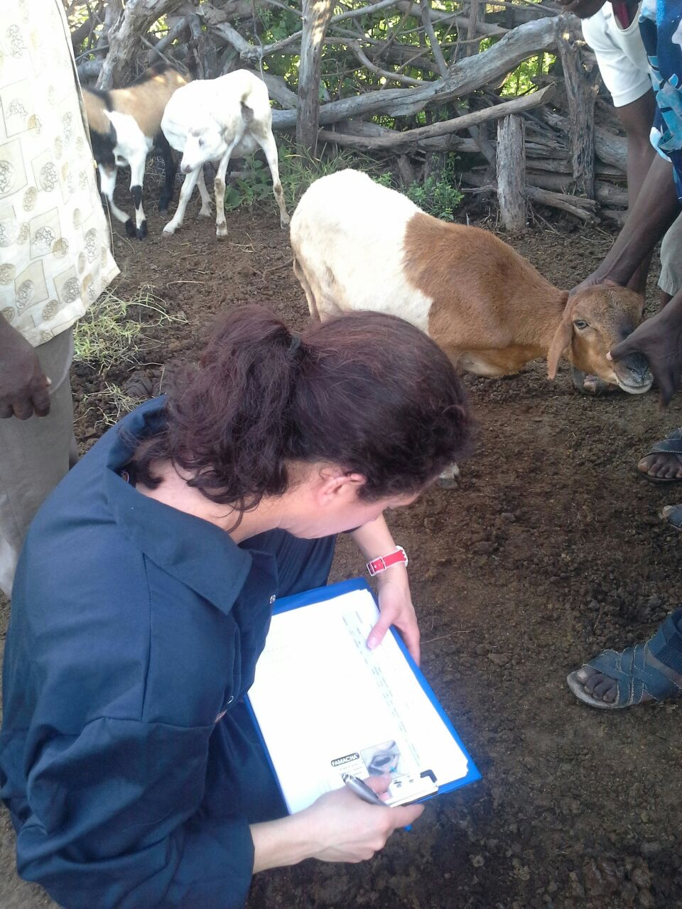 Above: Small ruminant data collection